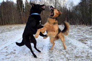 walczące psy